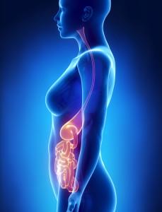 Digestive Anatomy